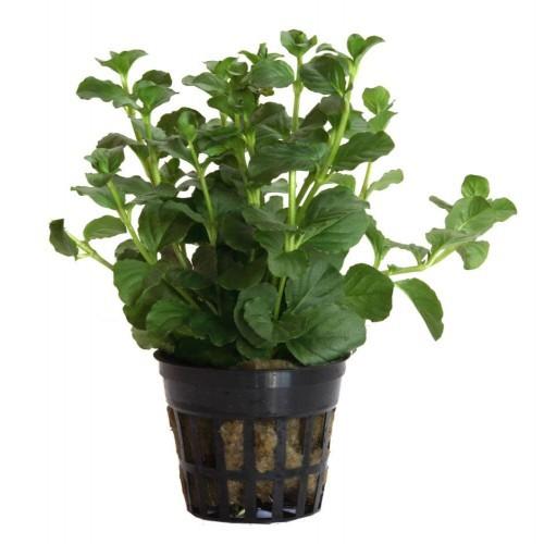 """Planta acuario Lysimachia Nummularia """"Aurea"""""""