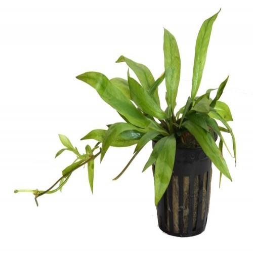 Planta acuario Tropica iberia Echinodorus Magdalensis