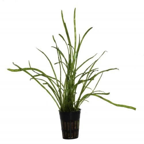 Planta para acuario Tropica Iberia Lilaeopsis