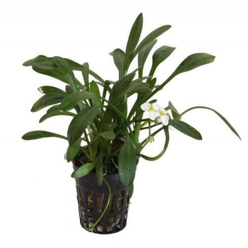 Planta para acuario Tropica Iberia Sagitaria Subulata