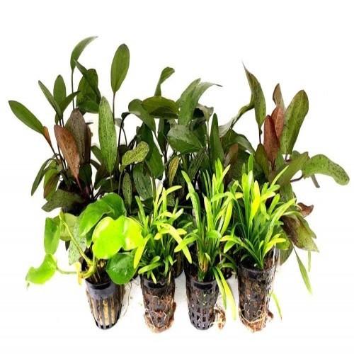 Pack acuario amazónico 15 plantas
