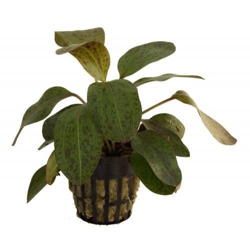 Pack de 5 plantas acuáticas Echinodorus Ozelot surtidas