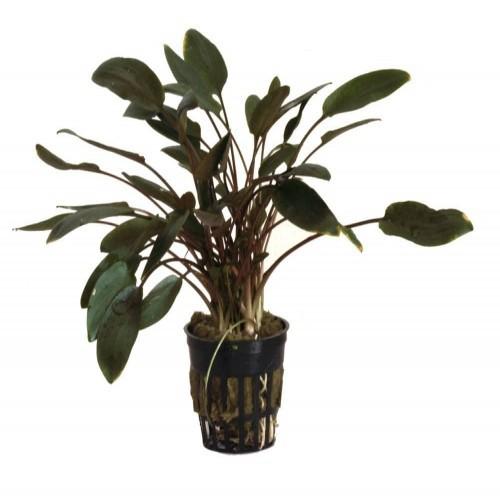 Plantas acuario Cryptocoryne Tropica Iberia pack de 3