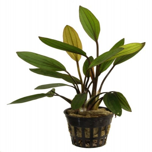 Pack de 5 plantas acuáticas Echinodorus Tropica Iberia