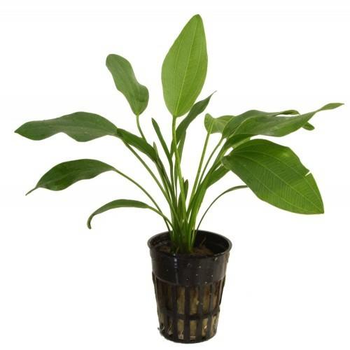 Planta acuario Tropica Iberia Echinodorus Latifolius