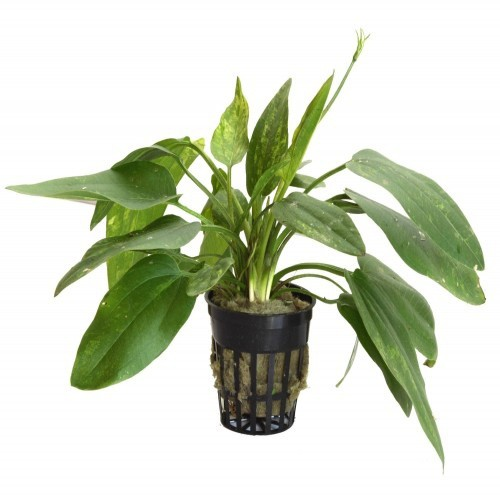 Planta acuática Echinodorus Corfifolius