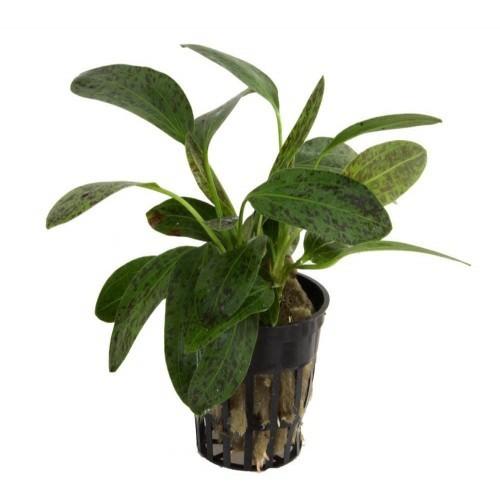 Planta acuario Tropica Iberia Echinodorus Ozelot verde