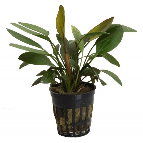 Planta acuario Tropica Iberia Echinodorus Barthii