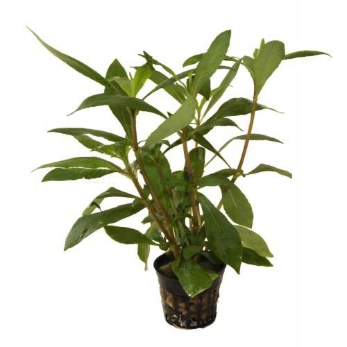 Planta acuario Hygrophyla Guianensis Robusta