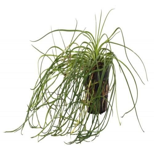 Planta acuario Littorella Uniflora