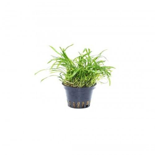Planta acuario Lilaeopsis Novae-Zelandiae