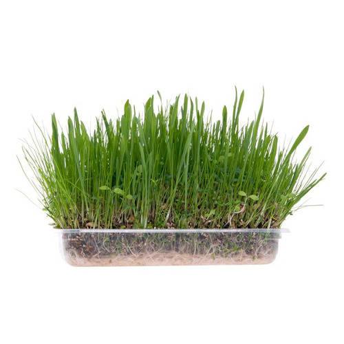 Hierba verde tierna para roedores