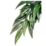 Plantas de seda colgantes: Rucus