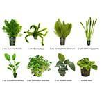.Plantas Naturales para Acuarios Combo 1
